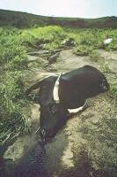 窒息死した牛