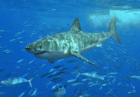クジラが増えすぎホオジロザメが沿岸部にまで…(Pterantula/Wikimedia Commons)