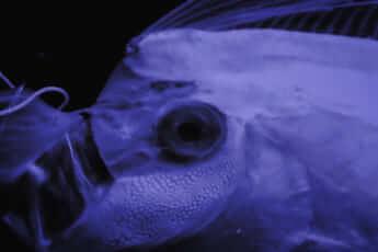 深海魚イメージ